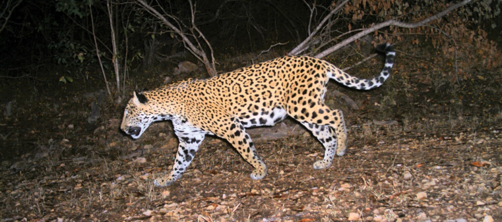 TIERRA DE JAGUARES | Una especie en peligro de extinción que en Sinaloa se protege
