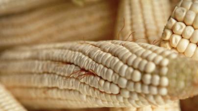 La crisis que viene | El fantasma de la sobreproducción de maíz que no todos ven