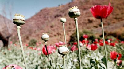 Según monitoreo de la ONU, en México se siembran 24,800 hectáreas de amapola al año