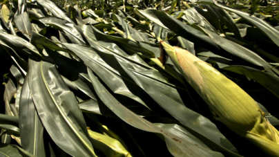 Recorte presupuestal no afectará los 3,800 pesos comprometidos para la tonelada de maíz