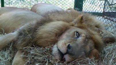 Tragedia para todos | A un año de la Ley de Vida Silvestre, ¿qué pasó con los animales de circo?