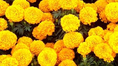 Sí habrá algunos aumentos en precios de flores por Día de Muertos