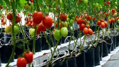 Con inteligencia artificial buscan mejorar productividad agrícola en invernaderos
