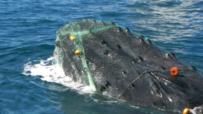 Logran rescatar a ballena desnutrida y atrapada en Mazatlán