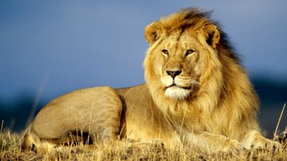 Particular entrega un león africano y Profepa libera un lince capturado en Ahome