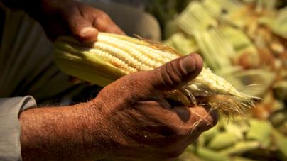 (In)seguridad alimentaria | Cierra México 2019 con déficit de 56% en semillas y granos básicos