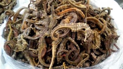 Aseguran alrededor de 7 mil restos de caballitos de mar en Mazatlán