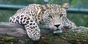 En unos diez años podría extinguirse el jaguar en Sinaloa y en México: ANCJ