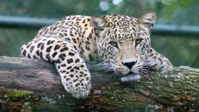 Científicos censarán población de jaguares en Sinaloa | Cacería furtiva pone en riesgo la especie