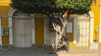 Una nueva vista a 'La Machado' | Talan árboles del Centro Histórico de Mazatlán