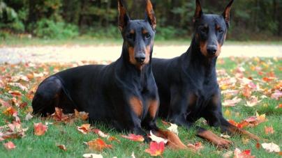 Darán hasta 5 años de cárcel a quien participe en peleas de perros… ¡incluso espectadores!