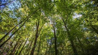 Plantar Árboles Exóticos en la Región es Riesgoso para las Especies Nativas: Biólogos sinaloenses