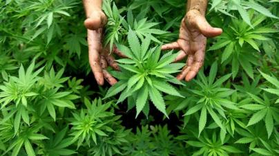 Senado | Legalización de la cannabis será en 10 días: Imelda Castro