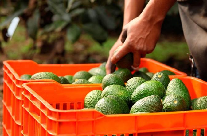 ¡Guacamolazo! | Precio del aguacate se dispara hasta los 100 pesos y podría llegar hasta los 130
