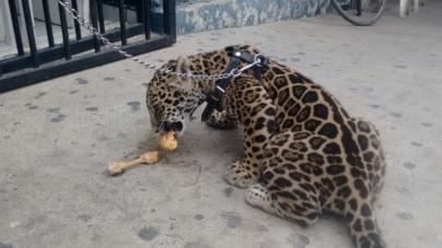 Profepa decomisa ejemplar de jaguar hembra en Culiacán tras denuncia en redes sociales