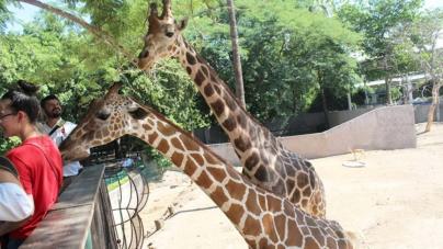 Zoológico de Culiacán da la bienvenida a un nuevo ejemplar de jirafa