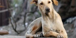 Croquetas anticonceptivas   Buscan la UNAM y UAM controlar población de perros callejeros