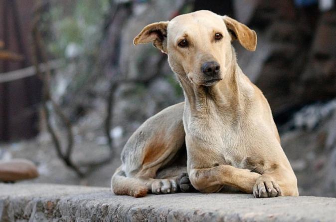 Croquetas anticonceptivas | Buscan la UNAM y UAM controlar población de perros callejeros