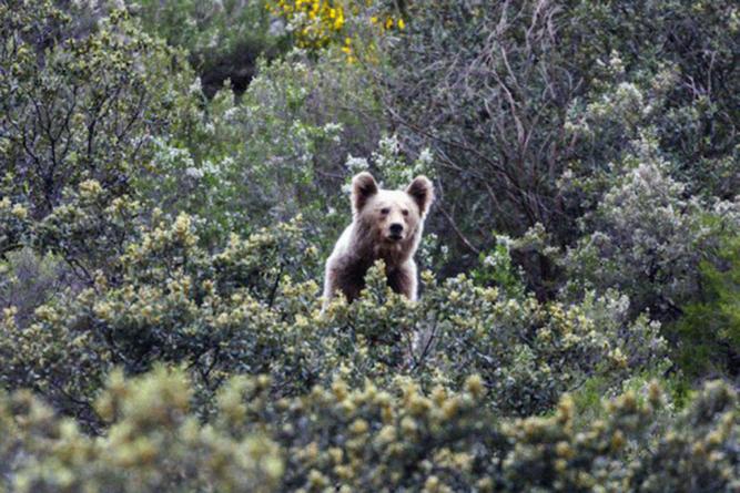 Surrealismo crudo | El oso pardo ante la verdad desnuda