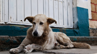 ¿Cómo vamos? | Medio millón de mascotas son abandonadas en México cada año