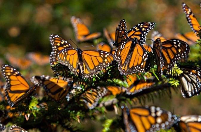Por huracanes y cambios climáticos cada vez menos mariposas monarca llegan a México en primavera