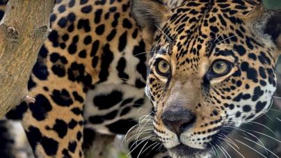 ¿Día de qué? | Grandes felinos, predadores amenazados