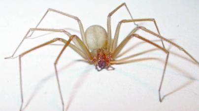 Empresa mexicana crea antídoto para el mortal veneno de la araña violinista