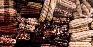 Investigadores de la UAS crean el alimento ideal a base de maíz y garbanzo