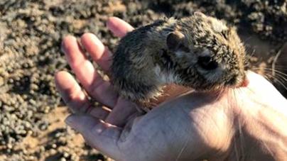 Redescubre la Conanp rata canguro | Se creía una especie extinta