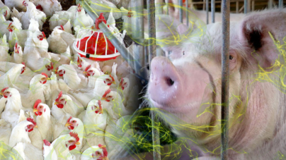 Avícola y porcícola, fuente de los malos olores en Culiacán