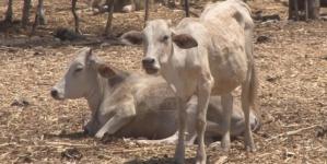 Ganado sinaloense comienza a morir por sequía presente en 13 municipios