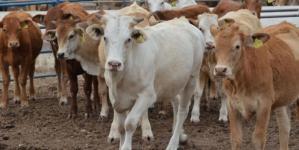 Ganaderos e industriales acuerdan incrementar a 8 pesos la compra del litro de leche en Sinaloa