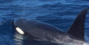 Llegan orcas a vacacionar a Mazatlán | Avistamiento sorprende a exploradores