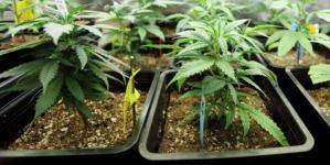 Cannabis alimenticia | Componente de la marihuana podría ser usado como suplemento alimenticio