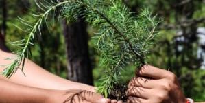 FOTOGALERÍA | Entregan 15 mil pinos al ejido Surutato para apoyar a la economía local