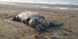No siempre es culpa de los popotes | En agosto se encontraron casi 100 tortugas muertas al sur de Sinaloa