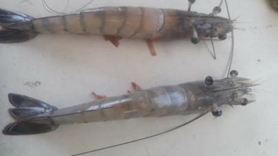 ¿Realidad o ficción? | 'Documentan' camarones con cuatro ojos en bahía de Altata