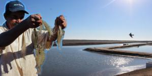 Acuacultores sinaloenses buscan ser los mejores en producción de camarón de granja