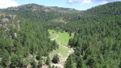 Huele a Navidad | Reforestará Conafor 4 hectáreas de pinos en sierra de Badiraguato