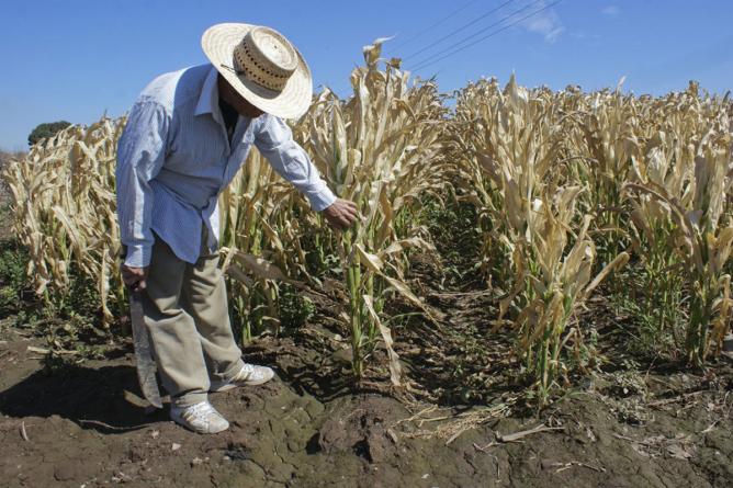 53 mil hectáreas resultaron afectadas por heladas de fin de año en Sinaloa