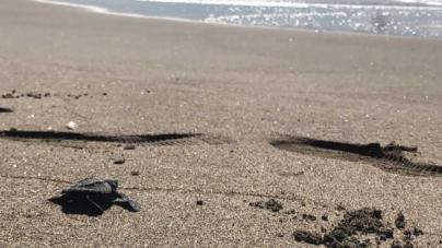 Liberan tortugas al cierre de programa de limpieza de playas