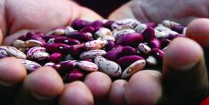 UNAM busca crear variedades de frijol resistente a sequías