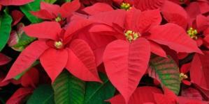 La Flor de Nochebuena es la planta de maceta más vendida en todo el mundo
