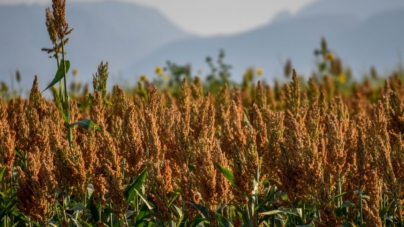 Productores esperan cumplir protocolos sanitarios para exportar sorgo a China