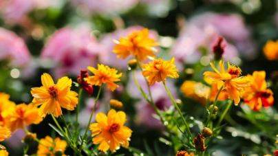 Científicos del IPN descubren propiedades anticancerígenas en la flor de maravilla