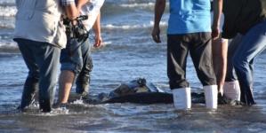 Ariadne, un final feliz para la tortuga Laud rescatada en mares sinaloenses