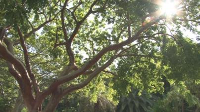 Manual de Arboricultura | ¿Qué Árboles de Sombra se Deben Plantar en Culiacán?