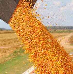 Menor producción nacional de maíz elevará importaciones en 2020: GCMA