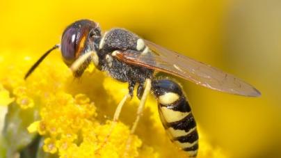 Lo dice la ciencia | Avispas, los primeros insectos conocidos en usar la lógica