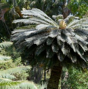 Cycada, la planta prehistórica | De la convivencia con dinosaurios a la convivencia con humanos